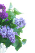 Fresh lilac flowers with green leaves close up isolated on white background
