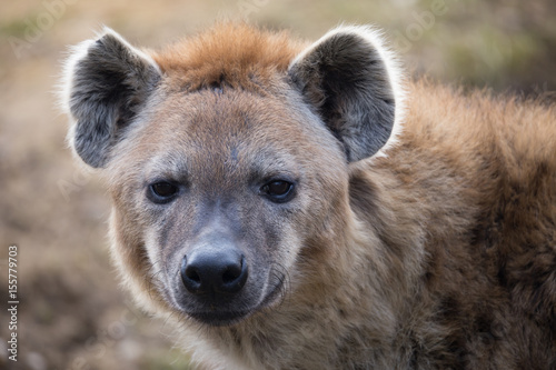Foto op Aluminium Hyena Tüpfelhyäne