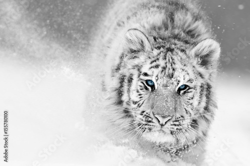 Foto auf AluDibond Tiger Artistic, black and white photo of Siberian tiger, Panthera tigris altaica, male in winter landscape, walking directly at camera in deep snow. Taiga environment, freezing cold, winter.