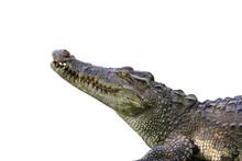 Image Of A Crocodile  On White...