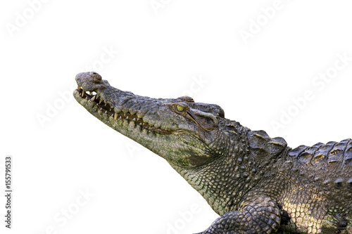 Staande foto Krokodil Image of a crocodile on white background. Reptile Animals.
