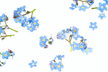 Forget-me-not Flower Isolated ...