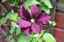 Burgundy, Flower, Nature, Red,