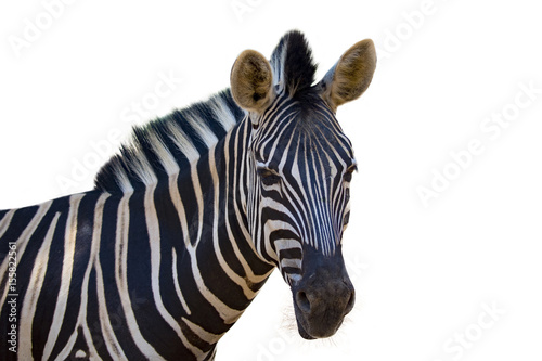 Wall Murals Zebra Image of an zebra on white background. wild animals.