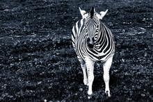 Portrait Of The Plains Zebra In Black And White