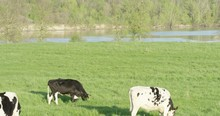 Dairy Cows Grazing Beside Rive...