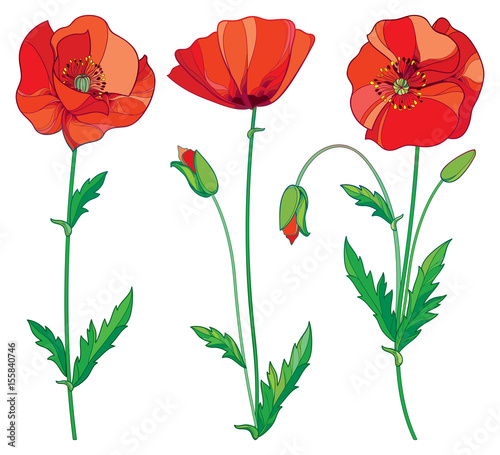 Vector set with outline red poppy flower bud and green leaves vector set with outline red poppy flower bud and green leaves isolated on white background mightylinksfo