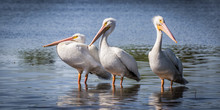 Three White Pelicans In Lake