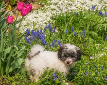 Small Dog Coton De Tulear Play...