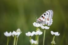 Butterfly Mountain Apollo Or Parnassius Apollo