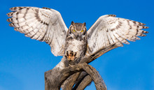 Great Horned Owl Landing With ...