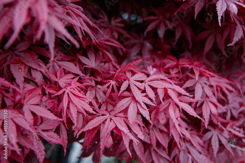 Japanice maple with red leaves ,acer palmatum Canvas Print