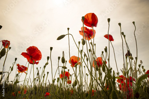 Fototapety, obrazy: The poppy flower