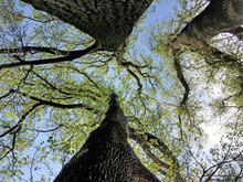 Bottom-up View Of Three Trees