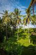 pola ryżowe ubud na tle palm