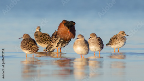 Fotomural Ruff - Philomachus pugnax / Calidris pugnax - at the Curonian lagoon shore, Lith