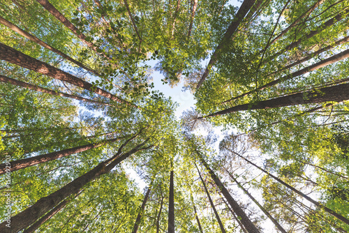 Fotografia Looking up at the at the sky in a forest