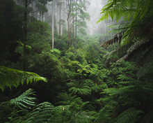 Lush Rainforest With Morning Fog