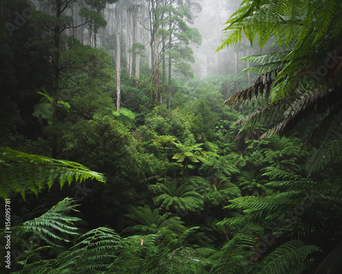 Obraz Lush Rainforest with morning fog - fototapety do salonu