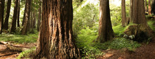 Panoramic Scene Of A Redwood F...