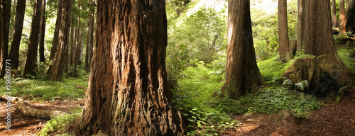 Panoramic scene of a redwood forest - 156109771