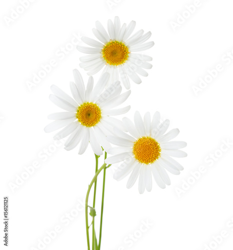 Foto op Canvas Madeliefjes Three flowers of Chamomiles ( Ox-Eye Daisy ) isolated on a white background