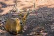 Close up of Sambar Deer