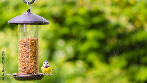 Tablou Canvas small bluetit sat on feeder facing camera