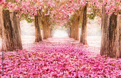 Poster Rose clair / pale Falling petal over the romantic tunnel of pink flower trees / Romantic Blossom tree over nature background in Spring season / flowers Background