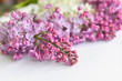 Blooming pink lilac flowers - floral background