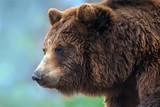 Niedźwiedzia brunatnego zamknięty up portret - 156247198