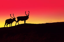 Silhouette Of Two Deer Against Burned Sunset Sky In The Dark