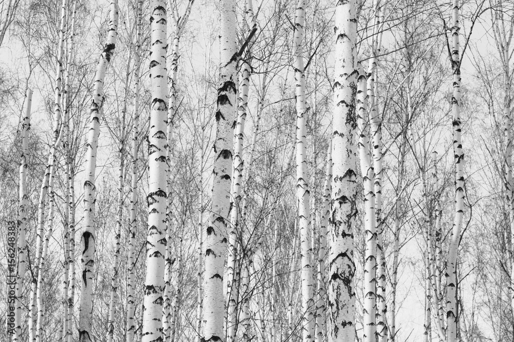 Black and white photo of birch grove in autumn as beautiful black-and-white wallpaper