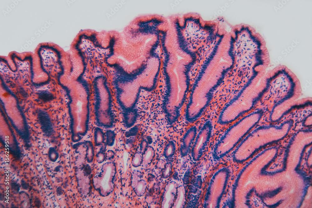 Fototapeta Cell microscopic- pyloric section stomach dog