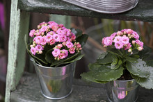 The Pink Kalanchoe In An Aluminum Bucket On Wooden Steps As A Garden Decoration
