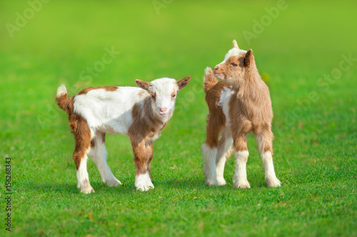 Cute goat in spring green grass