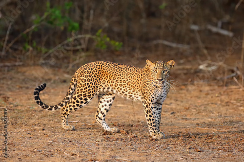 The Sri Lankan leopard (Panthera pardus kotiya) young female standing at the edge of the bush