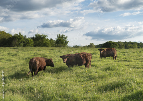 Aluminium Prints Red Devon Cattle in the Hudson Valley of New York