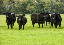 Black Cows In A Green Pasture