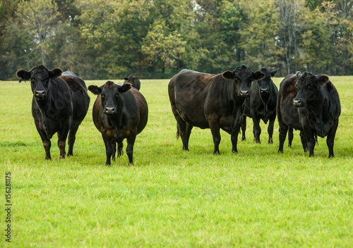 Black Cows in a Green Pasture Canvas Print