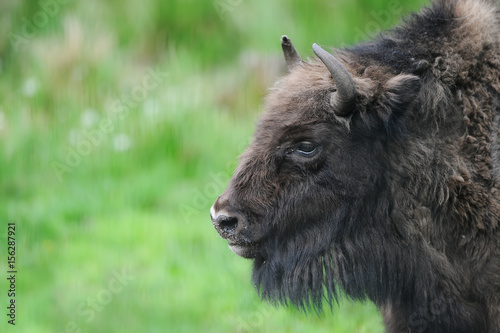 Bison head seen from the side, closeup Canvas-taulu