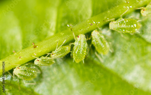 A small aphid on a green plant