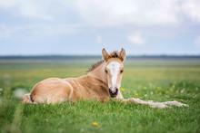 Little Foal Lying In Grass On The Meadow.