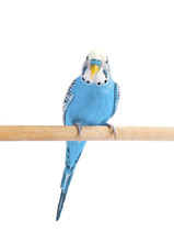 Budgie Blue, Isolated On White...