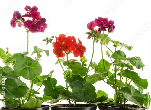 geranium flowers isolated