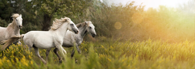 Beautiful white horses running in the field