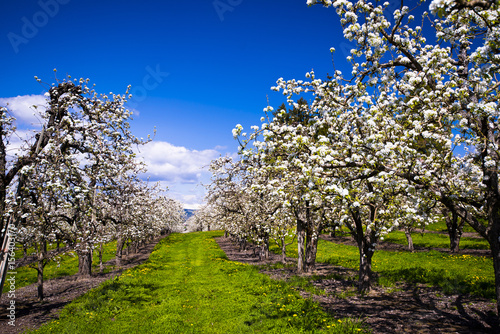 Fotografie, Obraz  Beautiful blooming white orchard