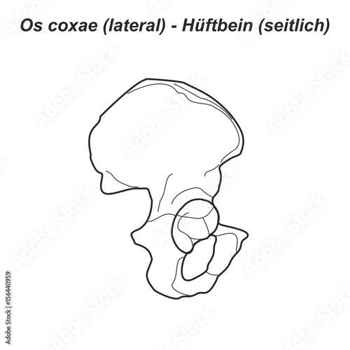Pelvis Hüftbein Os coxae Hüfte lateral seitlich Anatomie Grafik ...