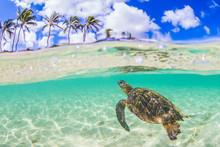 Hawaiian Green Sea Turtle Swim...