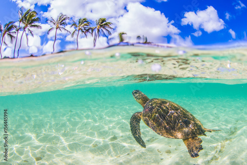 Poster Tortue Hawaiian Green Sea Turtle swimming in the warm waters of the Pacific Ocean in Hawaii
